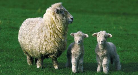Adult-sheep-lambs
